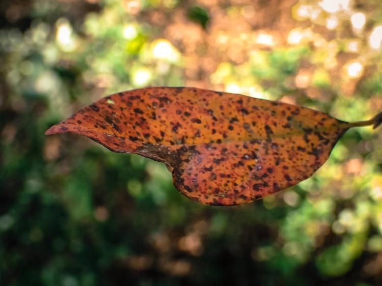 jax-arboretum-leaf-mahogany