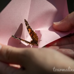 Painted Lady Monarch in paper envelope