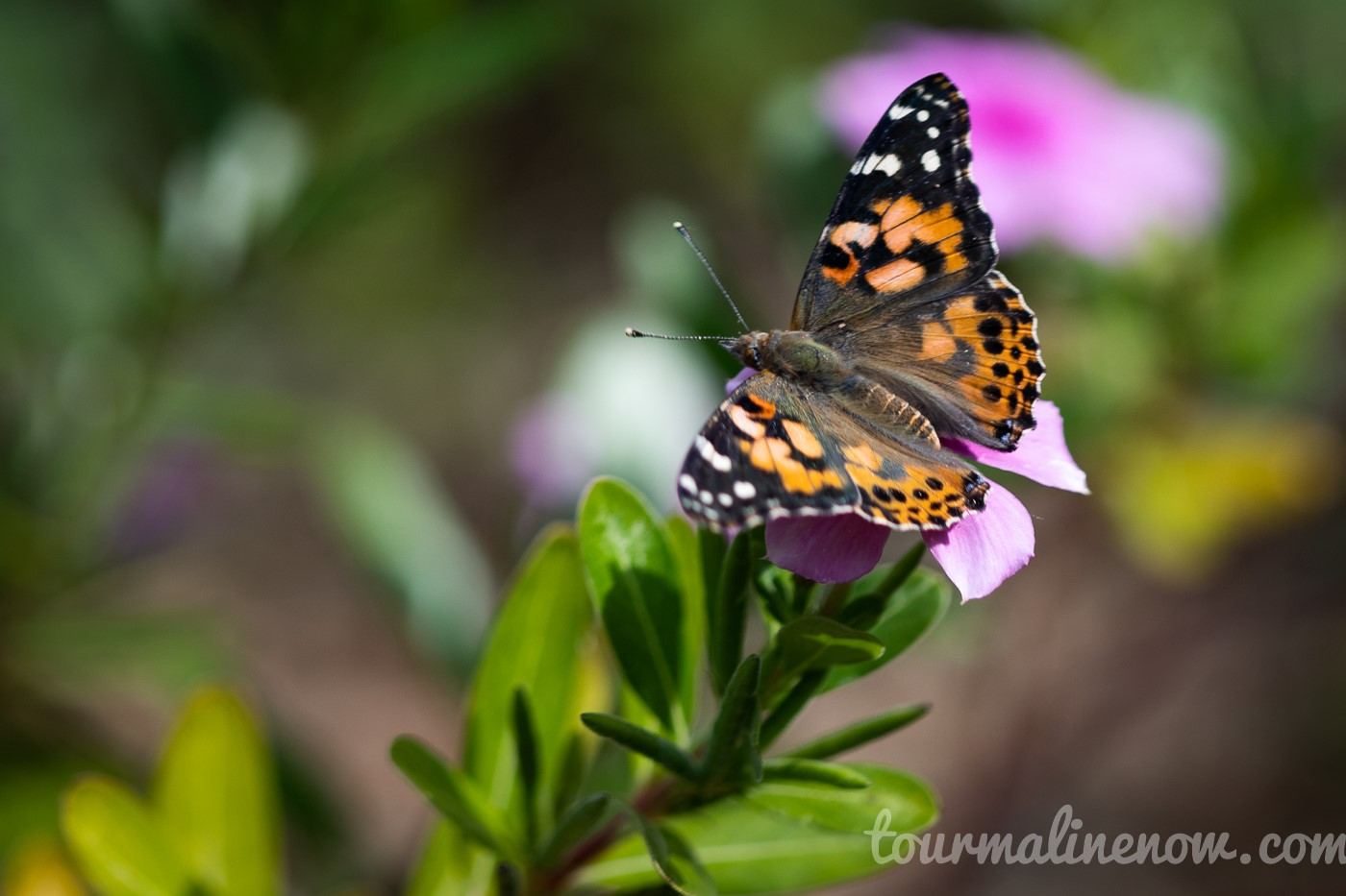 Painted Lady Monarch