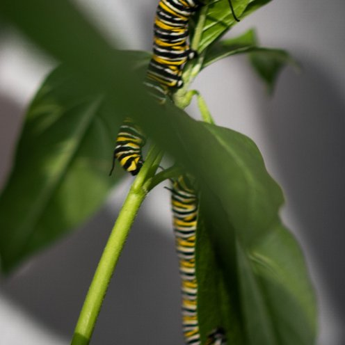 Painted lady caterpillars