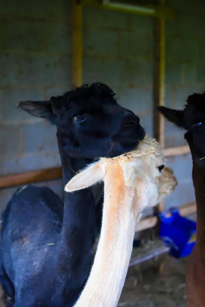 Alpaca resting head on another alpaca