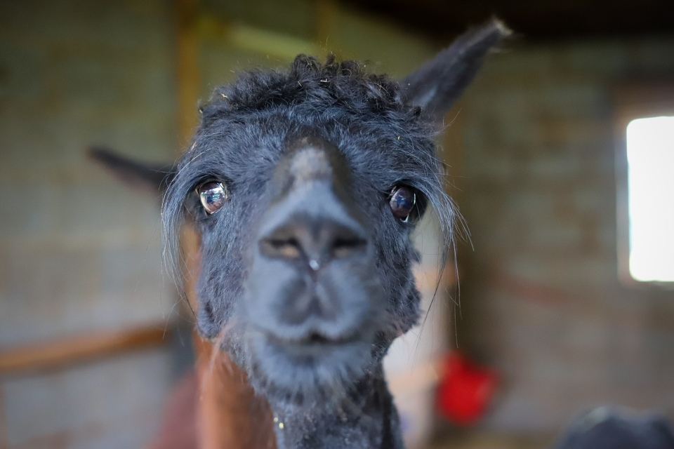 Alpaca facing camera
