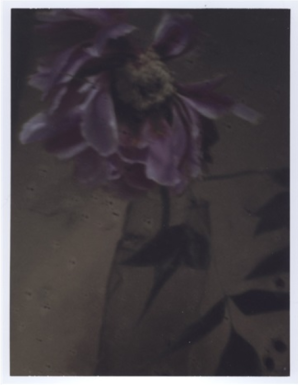 Sarah Moon, L'autre pivoine, 2011