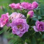 Tyler, TX Rose Garden-10