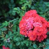 Tyler, TX Rose Garden-11