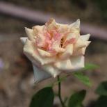 Tyler, TX Rose Garden-08