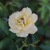 Tyler, TX Rose Garden-09